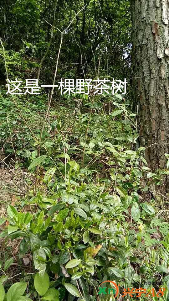 这是一棵野茶树.jpg