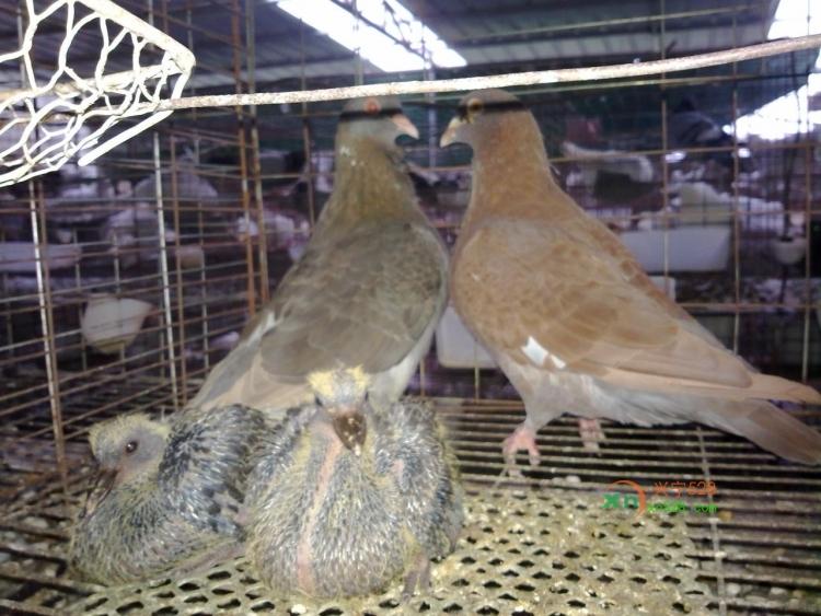 肉鸽养殖与鸽笼配件图片