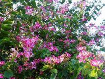 盛放的紫荆花