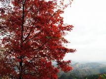 兴宁和山枫叶红