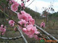 神光山桃花林