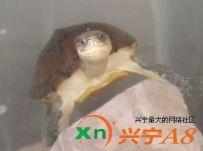 我家养有小龟