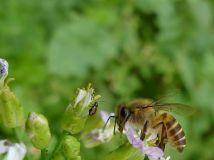 蜜蜂采油菜花