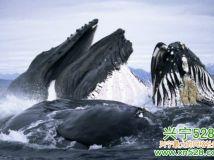 驼背鲸跃出海面进食壮观场景